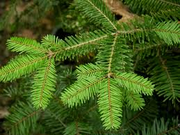 Types Of Live Christmas Trees by Grand Fir Needles