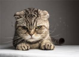 aggressive cat causes of sudden aggression in cats petmd