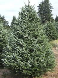 Frasier Christmas Tree by Christmas Trees Natures Best Value Evergreens 5011 Baltimore