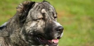 le berger pas cher le berger du caucase un chien au fort caractère femme actuelle