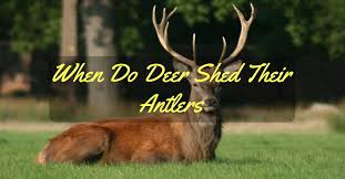Deer Antler Shedding Cycle by When Do Deer Shed Their Antlers All You Need To Know Elite