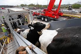 Cow Economy Faces A Pinch - WSJ Hshot Trucking Pros Cons Of The Smalltruck Niche Livestock Haulers May Receive Another Extension For Eld Rules Producers And Feedlots Are Facing A Trucker Shortage Mc Bdouble Transport Driver Jobs Australia Fleet Says It Acted Within Law In Denying Job To With Experienced Truck Fmcsa Clarifies Guidance Horse Haulers Topics Senate Passes Bill Exempting Livestock From Hinde Exports Livestock Plants Goods Ireland Uk Italy Cattle Driving Best Image Kusaboshicom Thomas Hauling Home Facebook