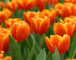 50 prechilled tulip bulbs golden oxford ready to