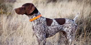 German Wirehaired Pointer Shedding by German Shorthaired Pointer Information Characteristics Facts
