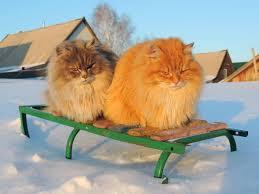 Siberian Cat Hair Shedding by 50 Most Beautiful Siberian Cats Golfian Com