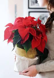 weihnachtsstern pflege und ideen für weihnachtsdeko
