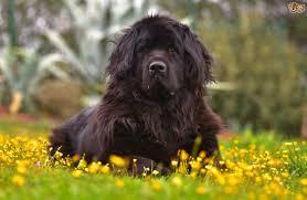 Large Low Shedding Dogs by Lazy Large Dog Breeds Maconbourgogne