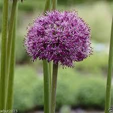 3 allium bulbs purple sensation perennials bulbs now