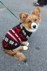 Middleburg Christmas Tree Farm For Sale by 281 Best Corgis Images On Pinterest Corgis Animals And Baby Corgi