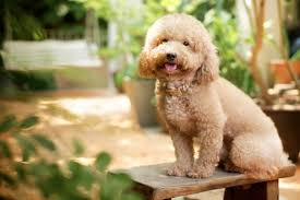 Dog Breeds That Dont Shed by Dog Breeds That Don U0027t Shed Pawculture