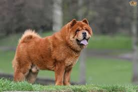 Low Shedding Small Dogs by Chow Chow Dog Breed Information Buying Advice Photos And Facts