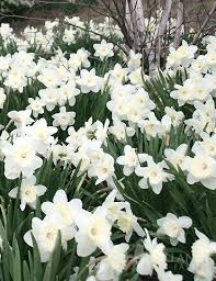 wholesale white daffodils 500 mt 82002