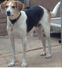 Do Treeing Walker Coonhounds Shed by Coonhound U0026 Foxhound Companions Long Ears Blog