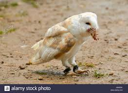 Owl Eating Prey Stock Photos & Owl Eating Prey Stock Images - Alamy Barn Owl Eating Mouse Sussex Uk Tyto Alba Stock Photo Royalty Bird Of The Month Owl Barn A Free Image 51931121 How To Attract Owls Your Yard 1134 Best Birdsstrigiformesowls Images On Pinterest Wikipedia Facts Pictures Diet Breeding Habitat Behaviour Eating Picture And 1861 Owls Snowy Saw Whets Chick Raptor Conservancy Virginia Baby And Animal