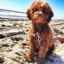 Cavapoos Do They Shed by Adorable Dogs On The Beach Coastal Living