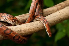 Corn Snake Shedding Too Often by Gray Ratsnake Snake Removal Animal Pros