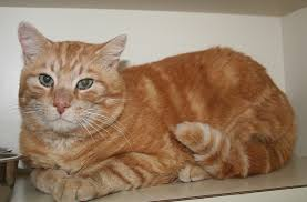 orange cat names orange cats breed williams