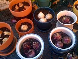 you can t grow bulbs in containers the same way you do bulbs in
