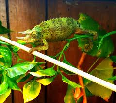 Basking Lamp For Chameleon by Which Light Setup Should I Use Chameleon Forums