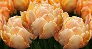 buy 10 quality tulip bulbs apeldoorn elite yellow