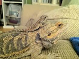 Bearded Dragon Heat Lamp Went Out by 167 Best Bearded Dragons Images On Pinterest Bearded Dragon