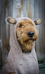 Do Airedale Puppies Shed by Best 25 Airedale Terrier Ideas On Pinterest Welsh Terrier