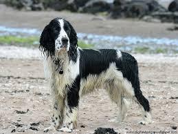 Springer Spaniel Shed Hunting by Dogs Blog Septembre 2011