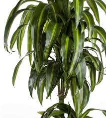 dracaena fragrans hawaiian