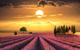 Lavender Fields Tuscany Italy