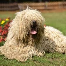 Protective Dog Breeds That Dont Shed by 28 Large Dogs That Dont Shed Hair Large Dog Breeds That Don