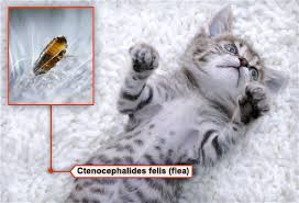 fleas on cats symptoms fleas ticks pets and what to do in pictures