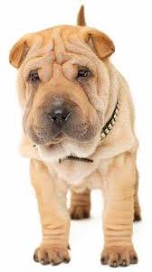 Do Shar Peis Shed A Lot by Miniature Shar Pei Puppies