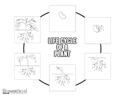 Plant Life Cycle Chart