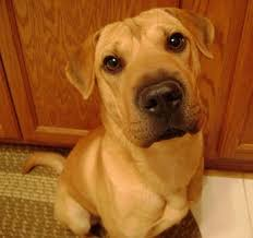 Do Shar Pei Lab Mix Shed by Sharp Eagle Dog Breed Information And Pictures