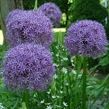 274 best gardening bulbs images on garden bulbs