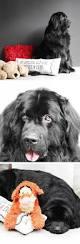 Do Newfoundlands Shed Hair 95 best heath loves newfs images on pinterest big dogs
