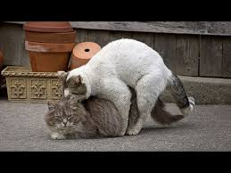 cats mating cat mating and giving birth
