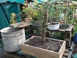pot bonsai grande taille rempotage a chêtre