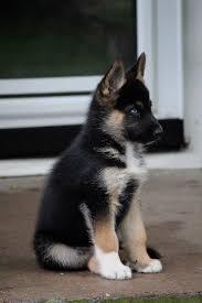 Do Pomskies Shed Fur by Best 25 Huskies For Sale Ideas On Pinterest Pomsky Price Baby