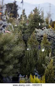 Christmas Trees Types by Christmas Trees For Sale In A Garden Center Mataró Catalunya