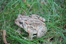 Frogs And Toads In Alabama | Outdoor Alabama Ohios 15 Species Of Frogs And Toads At A Glance Trekohio 13 Illinois Toads Frogs Midwestern Plants A Container Pond To Host Fish I Want Make One With How Raise Pictures Wikihow Utah Division Wildlife Rources Focus On Long Legged Cute Sitting Couple Cartoon Style Garden The Frog Pond Coach Michele Motorbike Frog Wikipedia Shop 145in Statue Lowescom