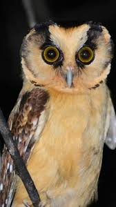 2000 Best Owl 2 - Barn Owl Especially! Images On Pinterest | Barn ... White Screech Owl Illustration Lachina Bbc Two Autumnwatch Sleepy Barn Owl Yoga Bird Feeder Feast And Barn Wikipedia Attractions In Cornwall Sanctuary Wishart Studios Red Eastern By Ryangallagherart On Deviantart Owlingcom Biology Birding Buddies 2000 Best 2 Especially Images Pinterest Screeching Youtube