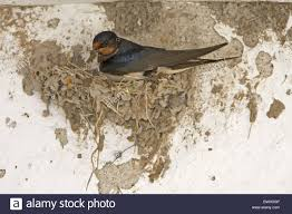 Barn Swallow (Hirundo Rustica) Adult, Building Nest, Adding Mud ... Barn Swallow Hirundo Rustica Fledgling In Nest Stock Photo Chicks Almost Ready To Leave The The Life Of Filebarn Fledglings Nestling Siblings Near Its Three Young Hatchling Nests Seasons Flow Bird Nests A Website On Birds World Nestlings Nestwatch Sauvie Island 30 May 2013 John Rakestraw Words Birds Cservation And Research British Columbia
