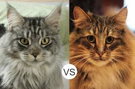 maine coons vs forest cats mainecoon org