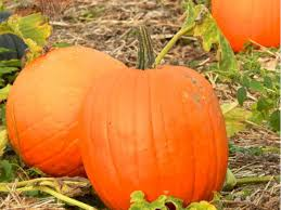 Apple And Pumpkin Picking Maryland by Where To Pick Your Own Pumpkins Around Harford County Bel Air
