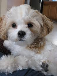 Non Shedding Hypoallergenic Small Dogs by Small House Dogs That Do Not Shed Laura Williams