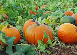Pumpkin Patch Santa Rosa by Pumpkin Patches In Sonoma County U2014 A Savvy Lifestyle