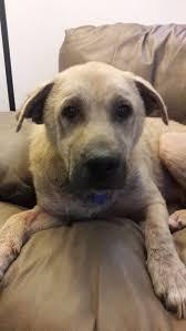 Black Mouth Cur Shed Hunting by Sheprador Dog For Adoption In Rancho Santa Margarita Ca Adn