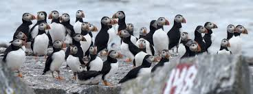 100 Seabirds Food Truck Facing Uncertain Future Puffins Adapt To Survive Climate