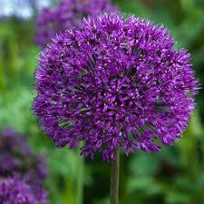 allium purple sensation 12 bulbs saga garden centre